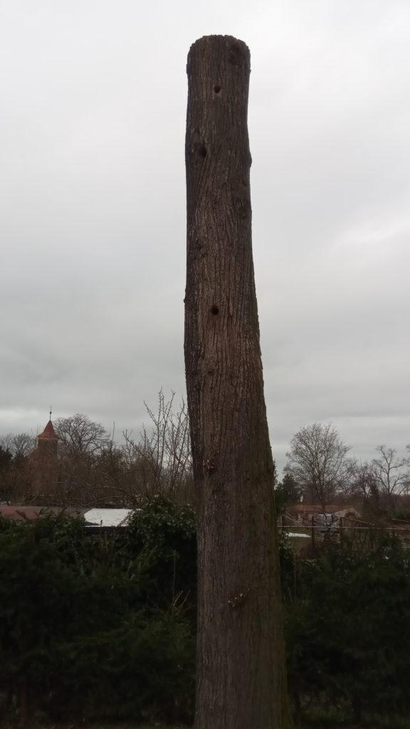 Torzo lípy ponechané pro hnízdění ptactva. Foto P. Petřík